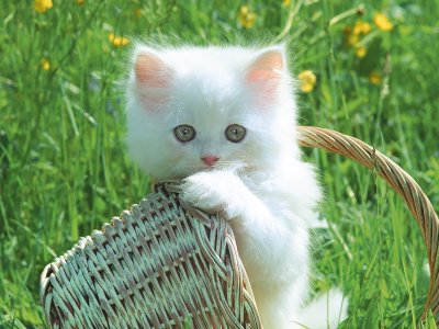 Uitgelezene Wit-kitten-mandje-22.jpg | =^..^= Katten Animatie en Plaatjes =^..^= PB-87